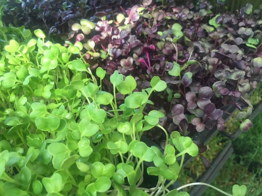 Tiny but nutrient mighty! Why are microgreens good for you?